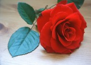 Red_Rose_Stock